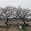 上堰潟公園の布目夫婦桜2013(新潟市西蒲区)