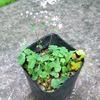 ☆新商品入荷☆夏に咲く小花が可愛らしい山野草「ツクシカラマツ」など