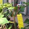 初めての脇芽取り 「わきめ」って何?? どれ?? プランター栽培 トマト きゅうり なす