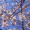 春に飲みたい!桜を使ったお酒おすすめまとめ
