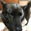 甲斐犬サンの闘病記録〜オ腹コワシタダケジャンΣ(°д°lll)‼︎