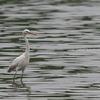 2019年7月20日の鳥撮り-東京港野鳥公園