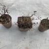 挿し木バラとアイスバーグの剪定・植え替え