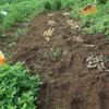 とってもカラフルなジャガイモ畑