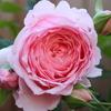 バラの栽培計画