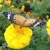 マリーゴールドとチョウ 秋を感じさせる花と秋を感じる蝶