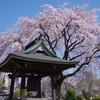 相模原市緑区 雲居寺のしだれ桜
