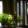 窓辺の陽光と観葉植物たち!