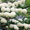 オオデマリとコデマリの花