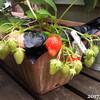 スイートバジル発芽、いちご収穫、腐る、しなびる、ランナー伸びる、マツバウンランも伸びる