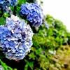 【その他】梅雨の癒し…紫陽花(アジサイ)