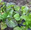八ヶ岳でタカナ!|家庭菜園の畑に植えた高菜がそろそろ収穫