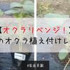 【家庭菜園】オクラリベンジ!2度目のオクラ植え付けレポートです!