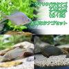 (淡水魚)タナゴセット(タイリクバタナゴ+ヤリタナゴ+アブラボテ)(各1匹)