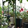 バラ開花中のエトセトラ