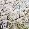 高瀬川の春。2018年の桜の開花状況。