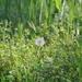 旅鳥のシマアジさん