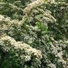 ピラカンサスの満開の花