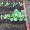 【家庭菜園】2度目の小松菜、初収穫