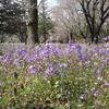 昭和記念公園の春の花々。