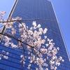 散り始めた梅田の桜
