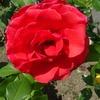 【岡山半田山植物園】2018年5月のバラだよりその1
