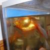 我が家の金魚たち
