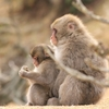 【京都・嵐山】『嵐山モンキーパークいわたやま』で猿の惑星体験