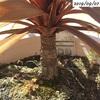 #15 コルジリネレッドスター 下葉を取り除き枝を伸ばす