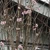 桜が開花しました。