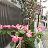 花水木の道の思い出