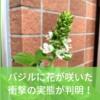 バジルに咲いた白い花!摘まないといけない理由があります。【ハーブ育成日記⑩】