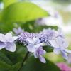 梅雨のピクニック:水元大橋の対岸は紫陽花の遊歩道