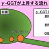 『肝酵素②:ALPとγ-GGT』~血液検査を考える~