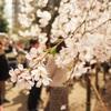 お花見散歩:しだれ桜を見に六義園へ