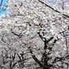 目黒川の桜見てきた2018!