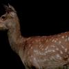 PORTRAIT EZO-SHIKA (Hokkaido deer) - Summer Coat