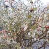 ボルドー色のクローバーとヒューケラと雨濡れブルーベリー