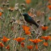 花畑のミナミゴシキタイヨウチョウ(Southern Double-collared Sunbird)