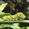 アゲハ幼虫!・・・ゆるキャラ癒され容姿