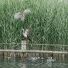 ホシゴイ(ゴイサギの幼鳥)を攻撃するカルガモ母さん