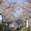 【YouTube 更新】号外動画。今しか見れない桜の道が続く鎌倉殿の八幡様。