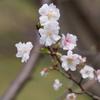 奥卯辰山健民公園「十月桜」