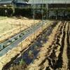 夏野菜の始まり。