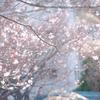 少しづつフワフワ桜