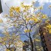 神戸元町駅交番横に咲く黄色の花、ブラジル国花「イペ」。