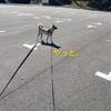 保護犬ホシ 散歩はアタシの栄養です