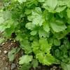 庭の植物  スープセロリ