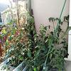 6/5 水耕栽培トマトの成長を止めてみました&これからの事