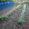 ねぎ畝の除草